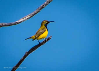 Yellow bellied sunbird
