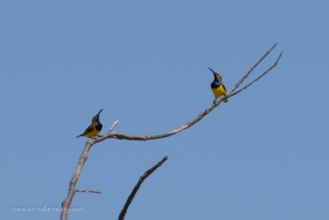 Two male sunbirds