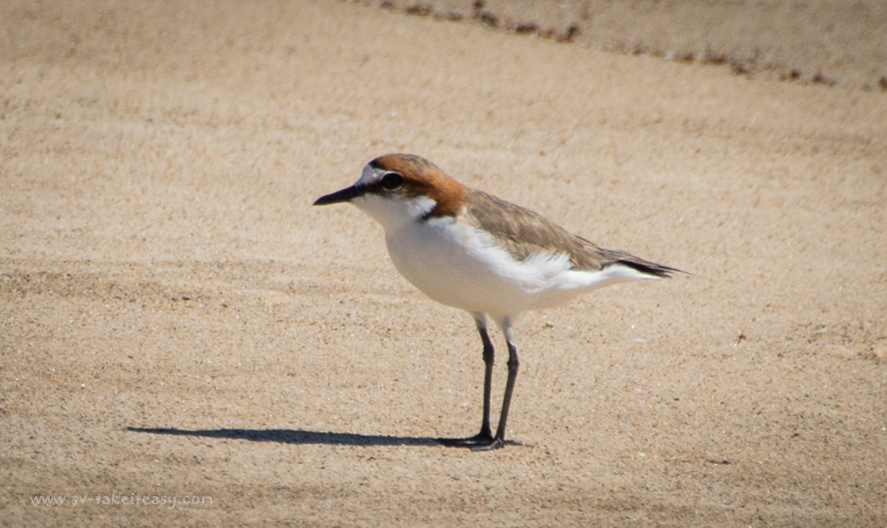 Red capped dotterel