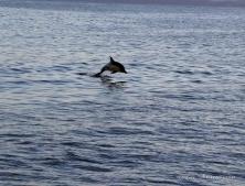 Dolphin leaping for joy outside Recherche Bay, Tasmania
