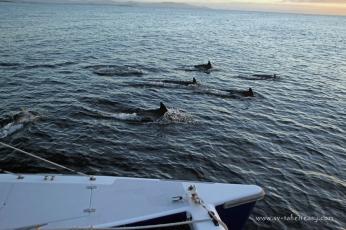 Dolphin pod outside Recherche Bay, Tasmania
