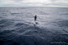 Dolphin Leaps on the way to Lady Elliott Island