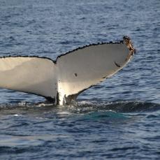 Fluke at Marion Bay, TAS