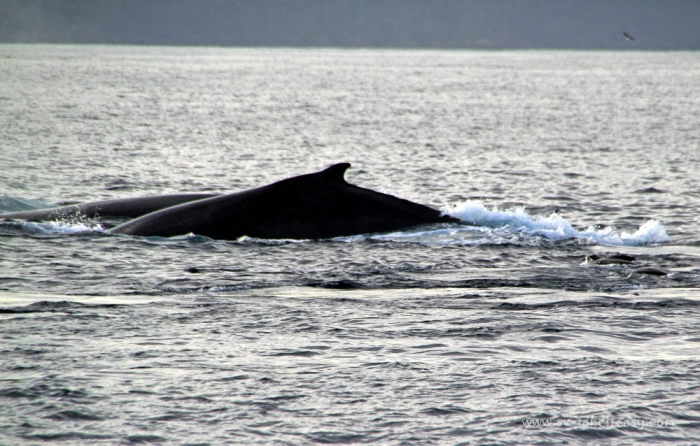 Humpback Whales at Marion Bay