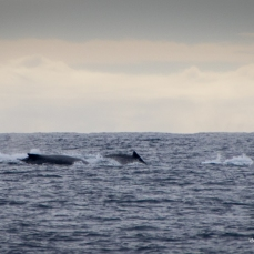 Pod of Humpback Whales at Lady Elliott Island