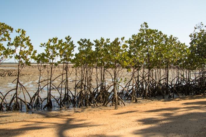 Mangrove - Week One