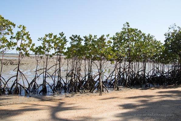 Mangrove - Original