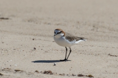 Female red-capped dotterel
