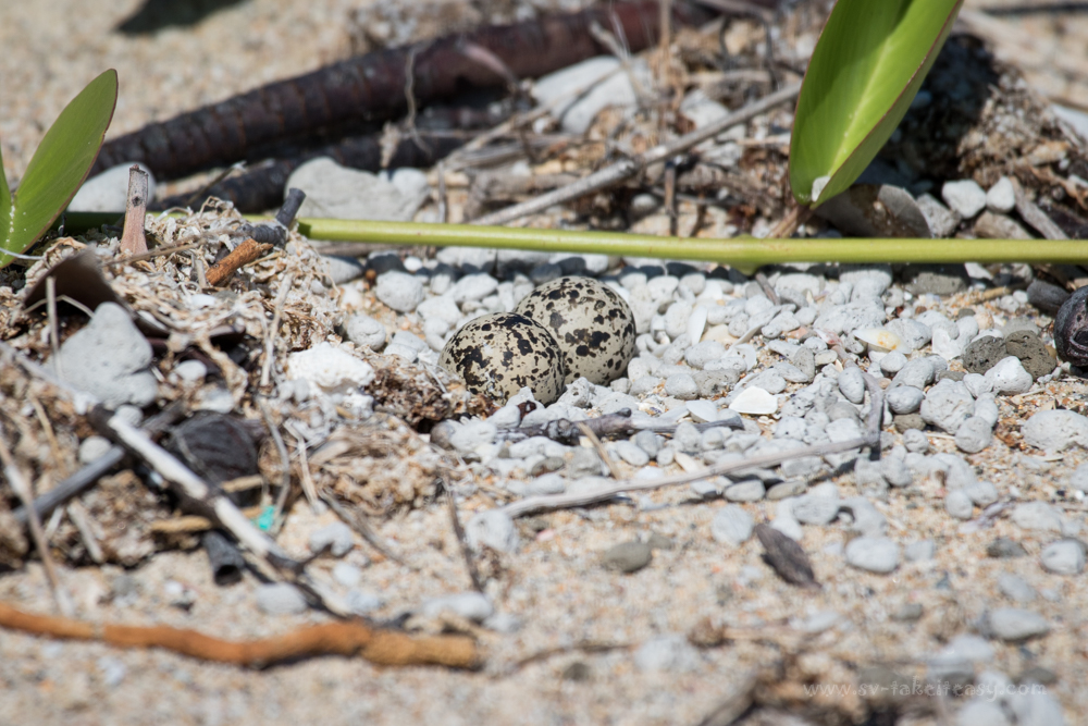 Dotterel eggs