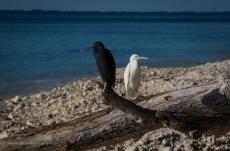 Reef Egrets