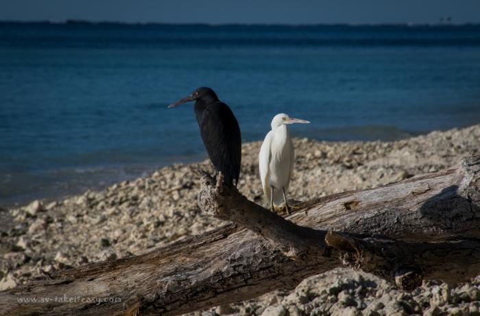 Reef Egret-3