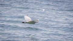 Reef Egret-6