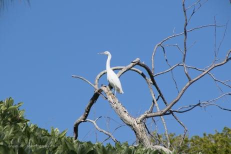 Reef Egret-7