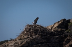 Osprey on the nest at Middle Island