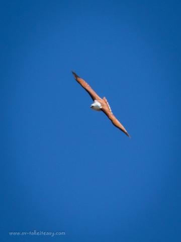 Brahminy Kite-8