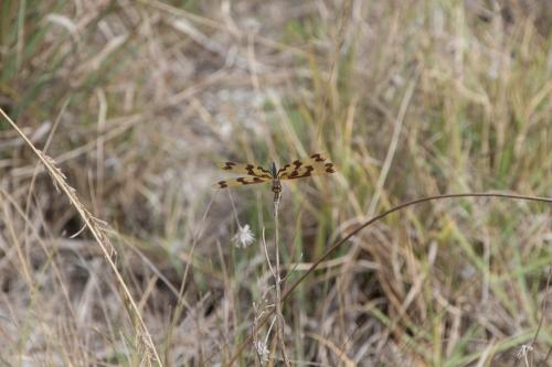 Dragonfly - Original
