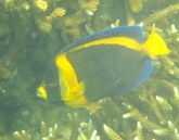 Butterfly fish at Great Keppel