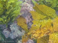 Kelp at Broughton Island