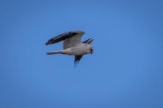 Black-shouldered-kite