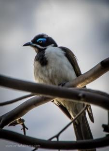 Blue-faced-honeyeater-1