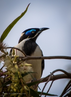 Blue-faced-honeyeater-2