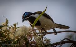 Blue-faced-honeyeater-3