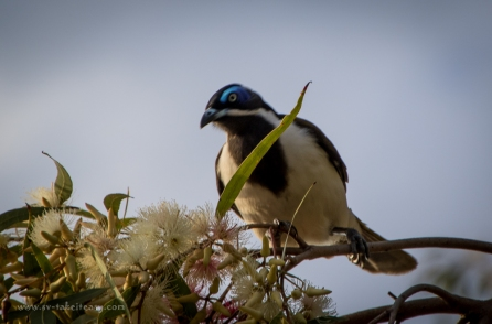 Blue-faced-honeyeater-4