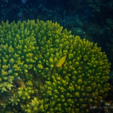 Yellow fish hiding in the lime green coral