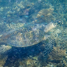 Sea turtle at Monkey Bay