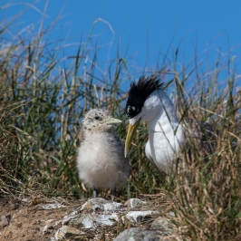Crested Tern mum and chick