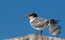 Immature but fledged Crested Tern