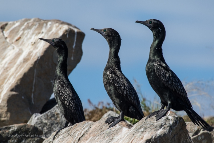 The three stooges - Little Black Cormorants