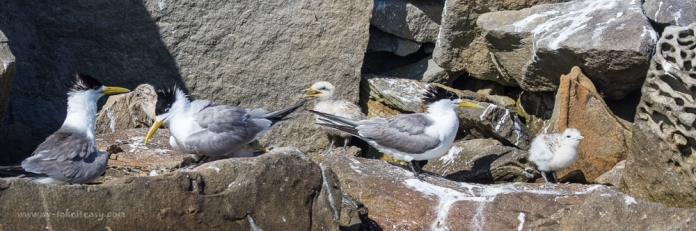 Crested Tern family