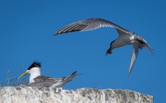 Adult Tern feeding