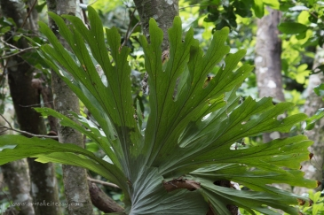 Staghorn ferns, rainforest walk at Iluka