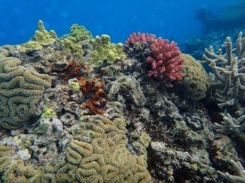 Coral diversity