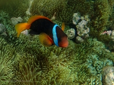 Anemonefish at Great Keppel