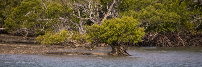 Mangrove in the Great Sandy Straits