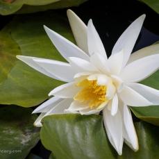 Hidden lily pond at Moruya
