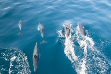 Dolphins at our bows!