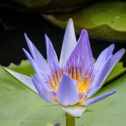 Waterlily close up