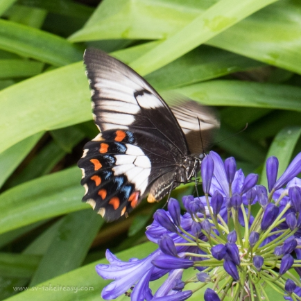 Beautiful Dainty Swallowtail in the agapanthus
