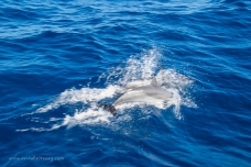 Dolphins frolicking