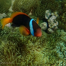 Anemone fish at Great Keppel Island