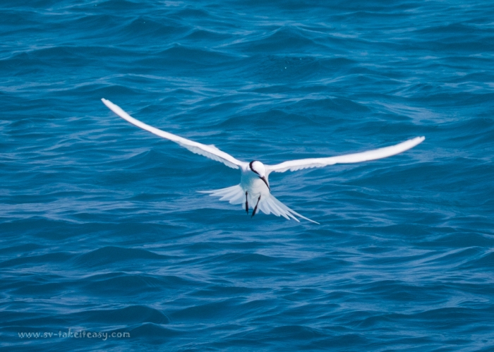 Black-naped Tern-4