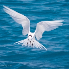 Black-Napped Tern