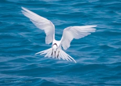 Black-Napped Tern