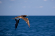 Masked Booby at the Southern Great Barrier Reef