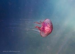Jellyfish - Chrysaora wurlerra