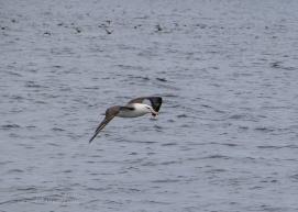 Black-browed Albatross-1